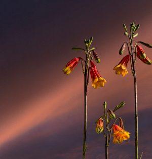 Simon Cardwell - BLANDFORDIA GRANDIFLORA - Photography