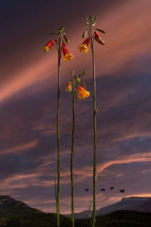 Simon Cardwell - Flower 1 - Photography